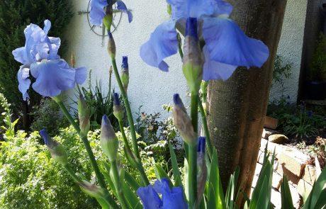 Post Office House Irises in Garden